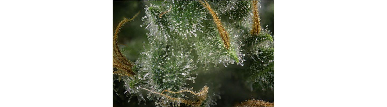 cbd-nutrition-cbd-blogs-was-sind-cannabis-trichome